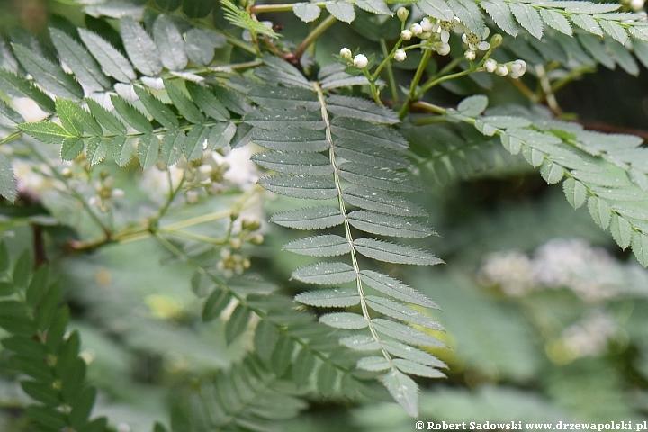Jarząb Koehnego - kwiaty