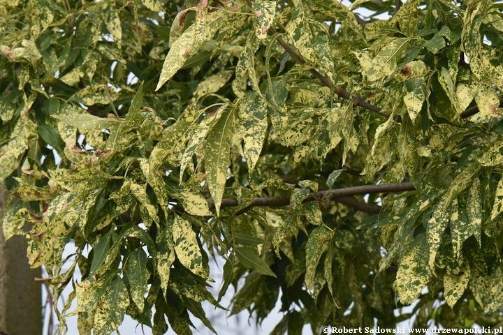 Jesion pensylwański 'Aucubifolia'