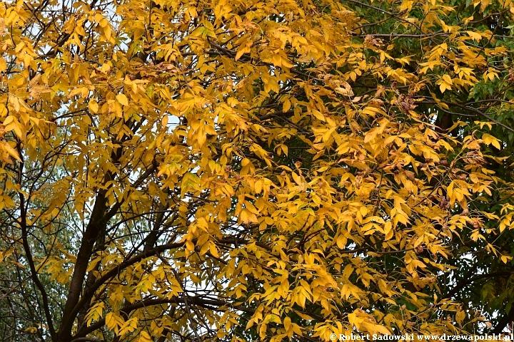 Jesion pensylwański jesienią