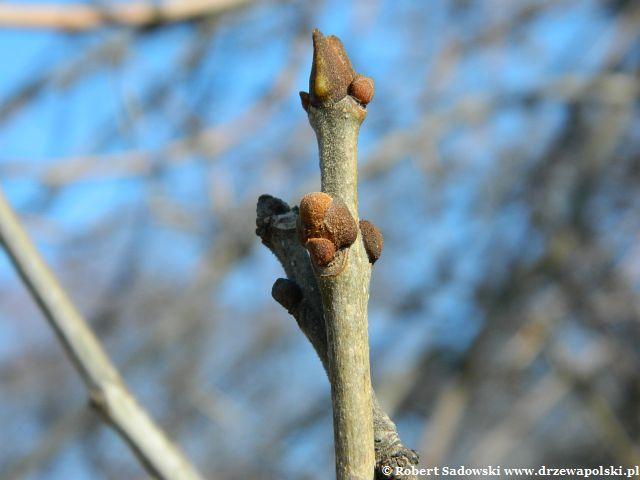 Jesion pensylwański wiosną
