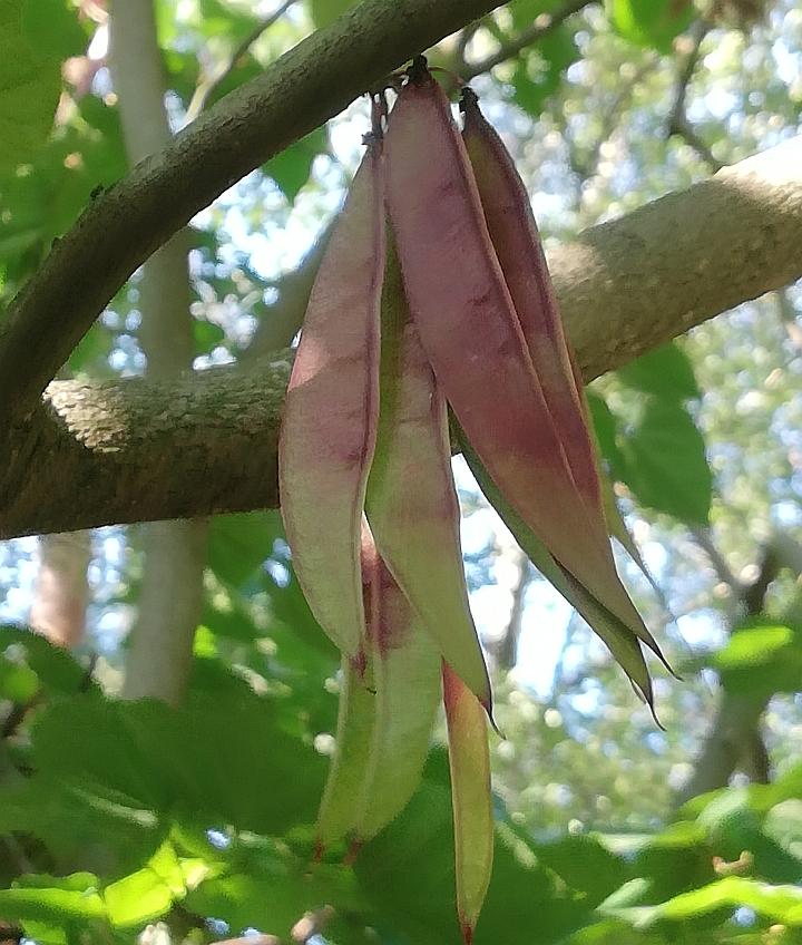 Judaszowiec - owoce