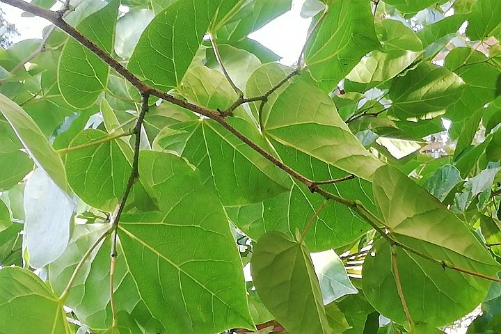 Judaszowiec - liście