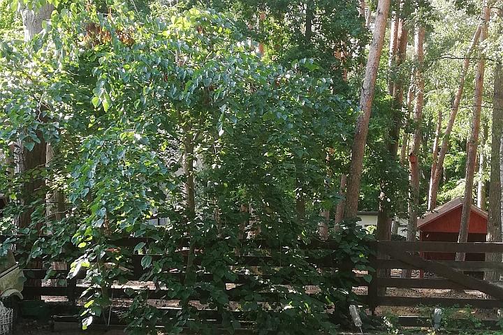 Judaszowiec - drzewo