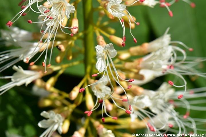 Kasztanowiec drobnokwiatowy