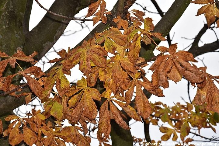 Kasztanowiec i jego liście