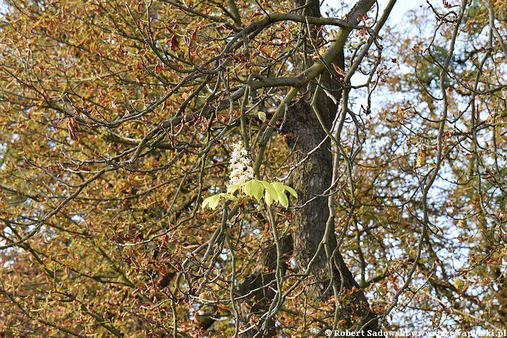 Kasztanowce ponownie kwitną