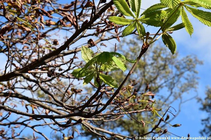 Kasztanowiec ponownie kwitnie