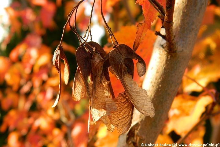Klon ginnala jesienią