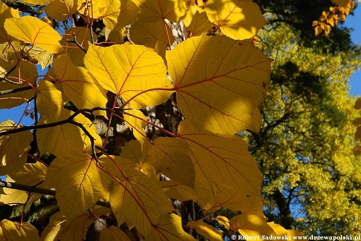 Klon Grossera - kolory liści