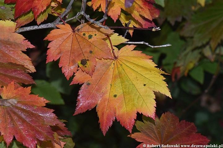 Klon japoński jesienią