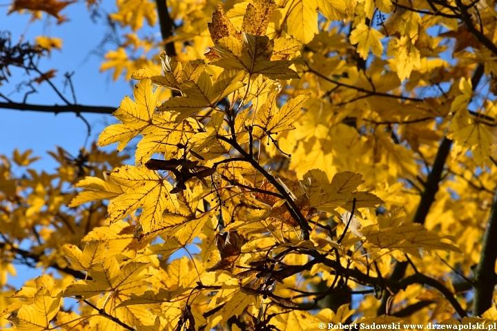 Klon jawor - kolory liści
