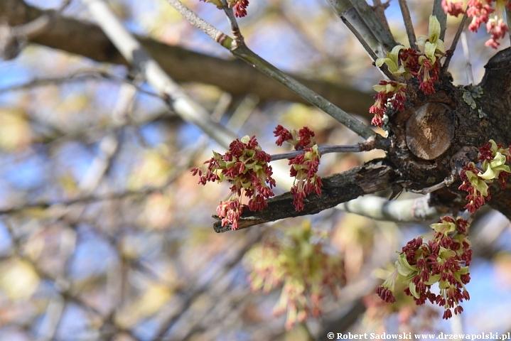 Klon jesionolistny kwiaty