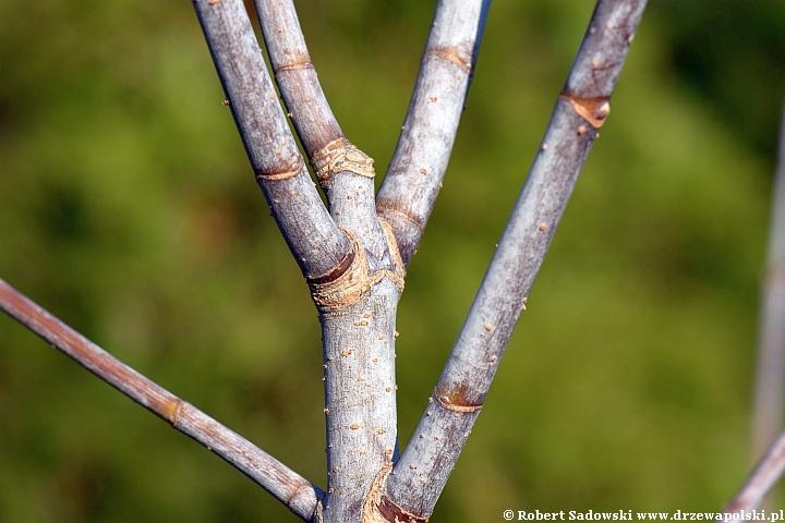 Klon jesionolistny młode pędy