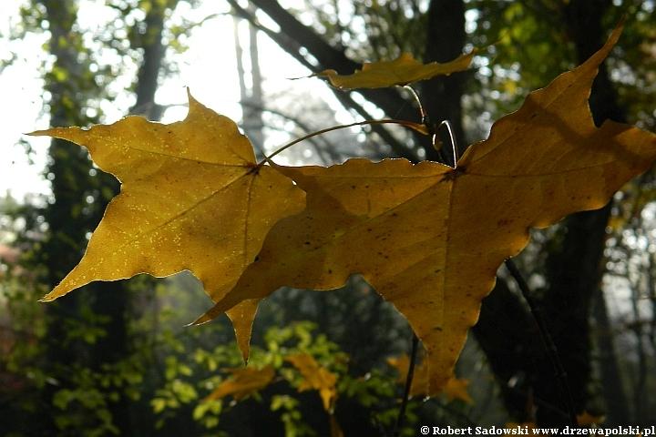 Klon ściętolistny - kolory liści