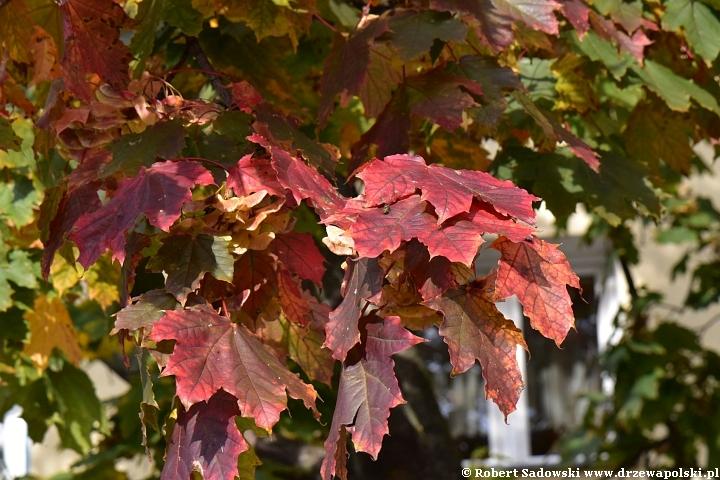 Klon zwyczajny jesienią