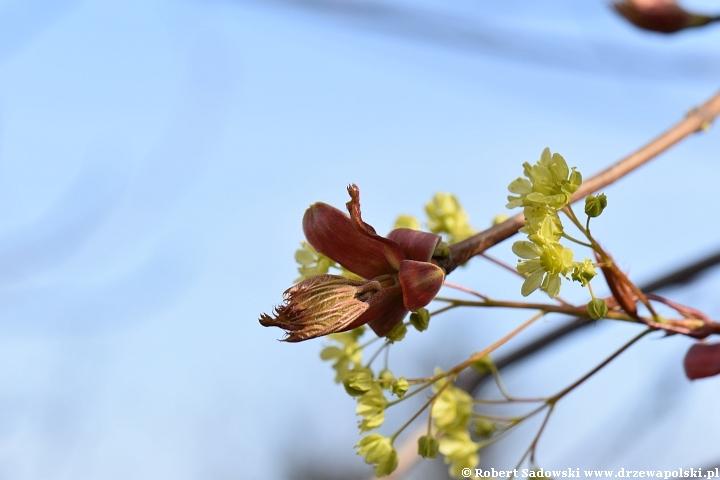 Klon zwyczajny w kwietniu