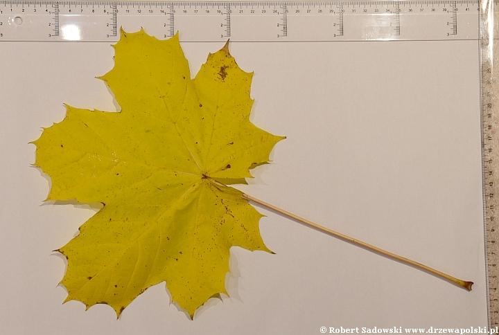 Klon zwyczajny - duży liść