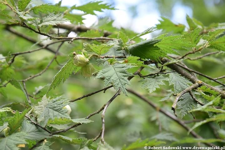 Leszczyna pospolita 'Heterophylla'