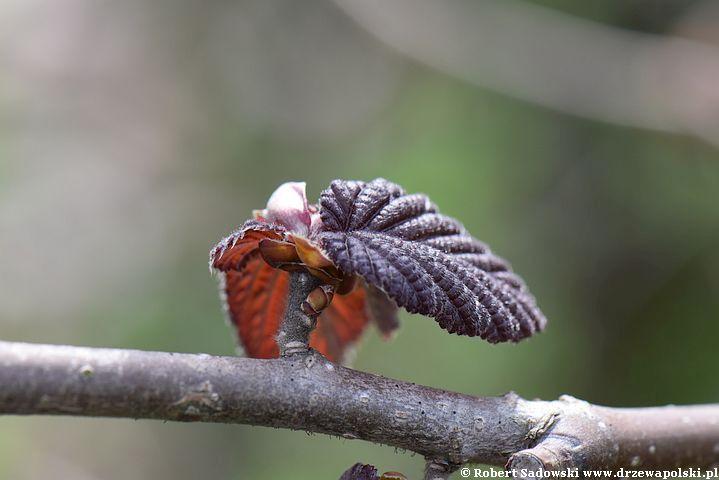 Purpurowa leszczyna