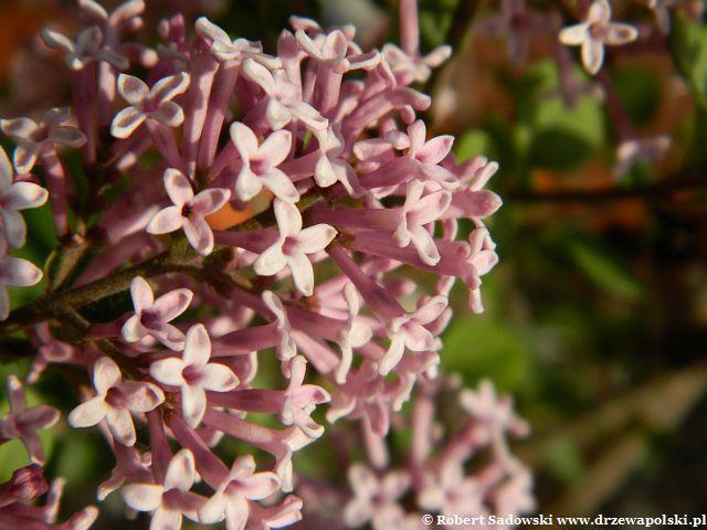 Lilak Meyera - kwiaty
