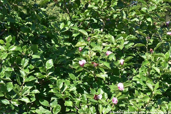 Magnolie ponawiają kwitnienie
