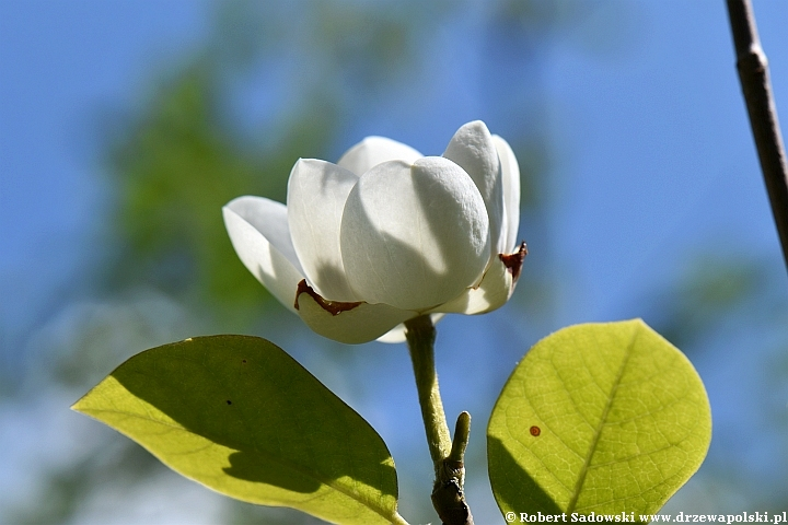 Magnolia Siebolda - kwiaty
