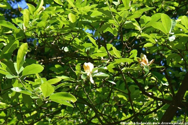 Kwitnie magnolia sina