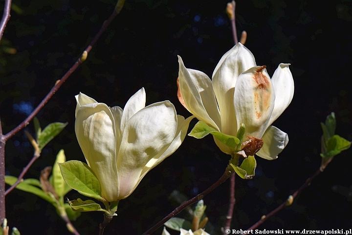 Żółta magnolia 'Yellow Lantern'