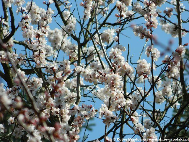 Morela mandżurska kwiaty