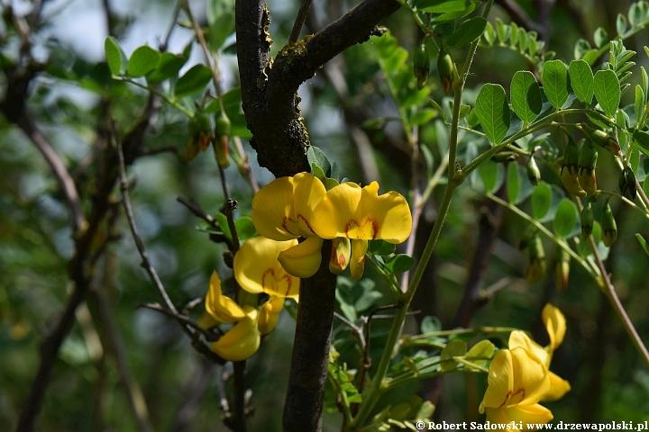 Moszenki południowe kwiat