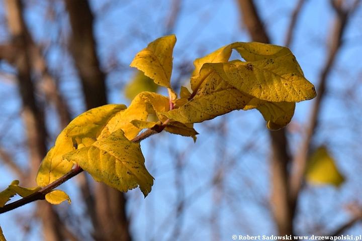 Nieszpułka jesienią