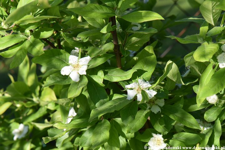 Kwiaty nieszpułki