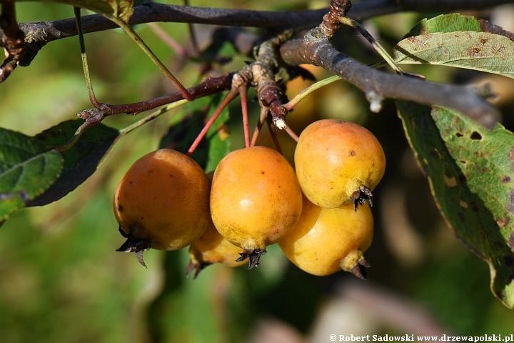 Jabłoń 'Yellow Siberian'
