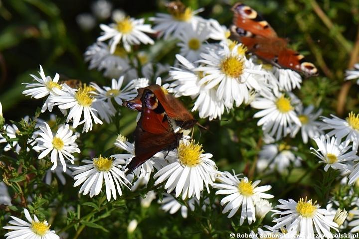 Walka motyli o pyłek