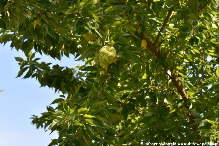 Owocująca żółtnica pomarańczowa