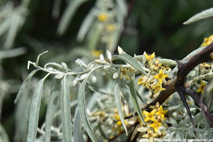 Kwitnie oliwnik wąskolistny