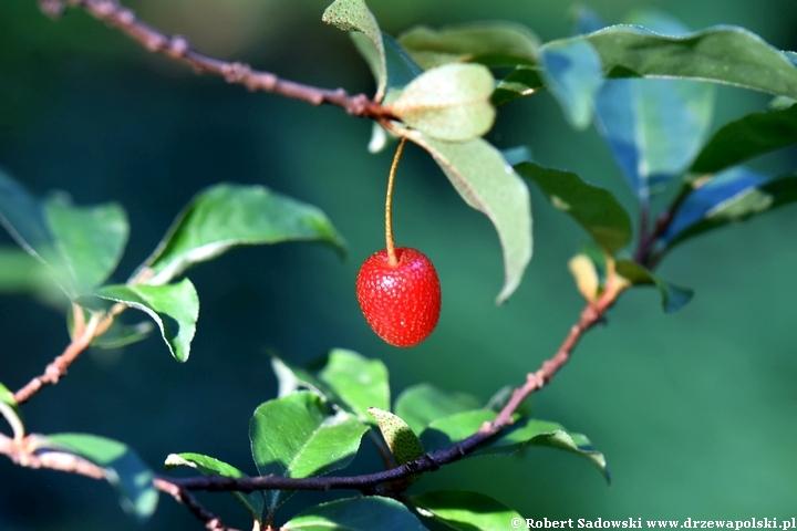 Owoce oliwnika wielokwiatowego - gumijagody