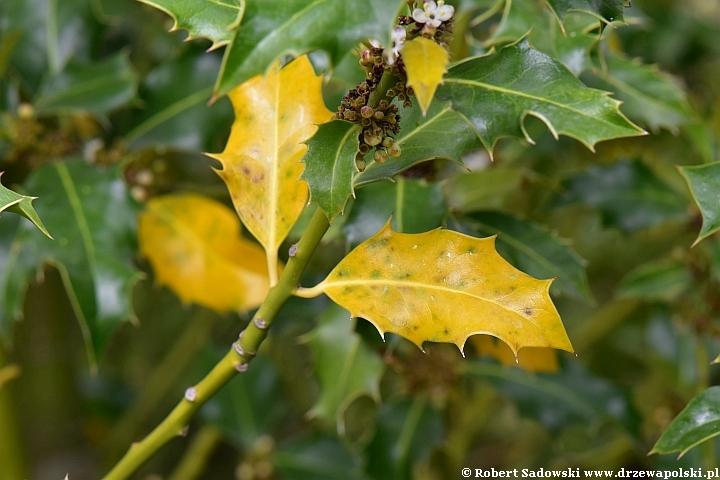 Ostrokrzew kolczasty gubi liście