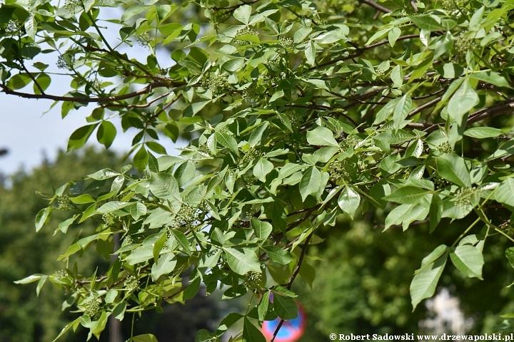 Parczelina trójlistkowa - pąki kwiatowe