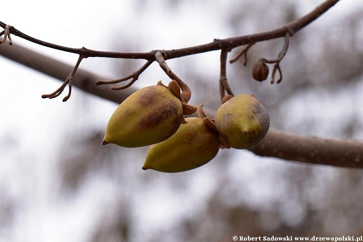 Paulownia puszysta - owoce