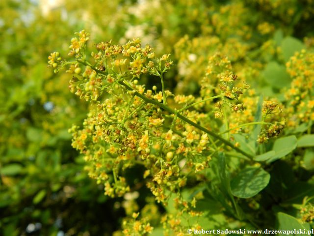 Kwiaty perukowca