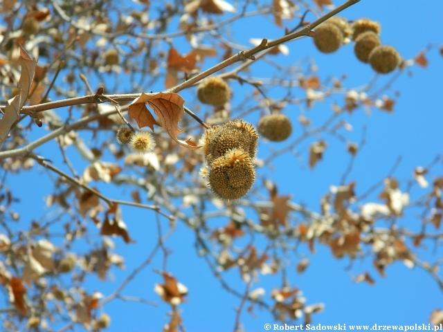 Platan klonolistny rozsiewa nasionka