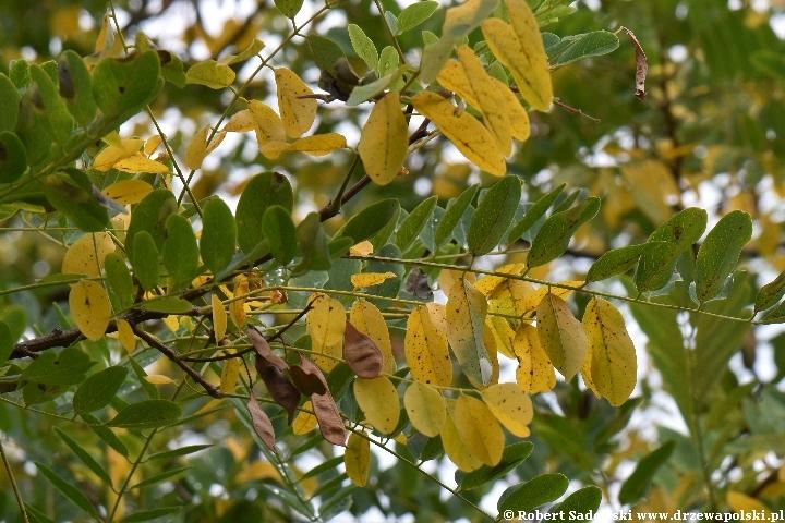 Robinia biała jesienią