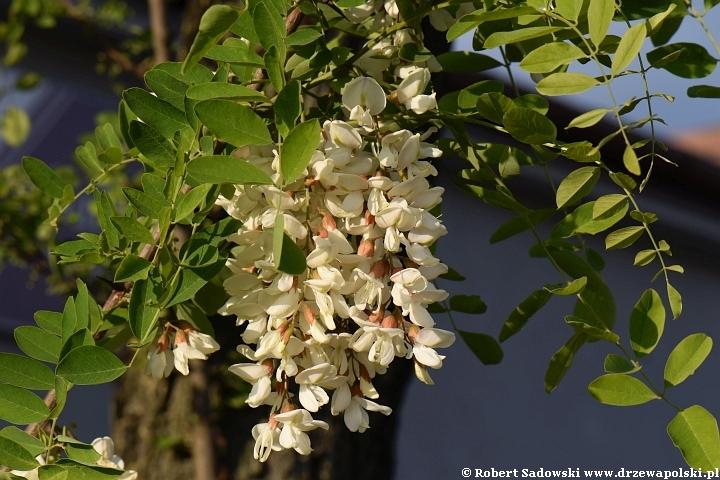 Kwitnie robinia biała