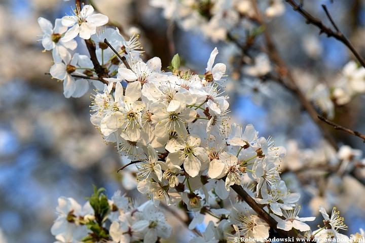 Kwitną mirabelki