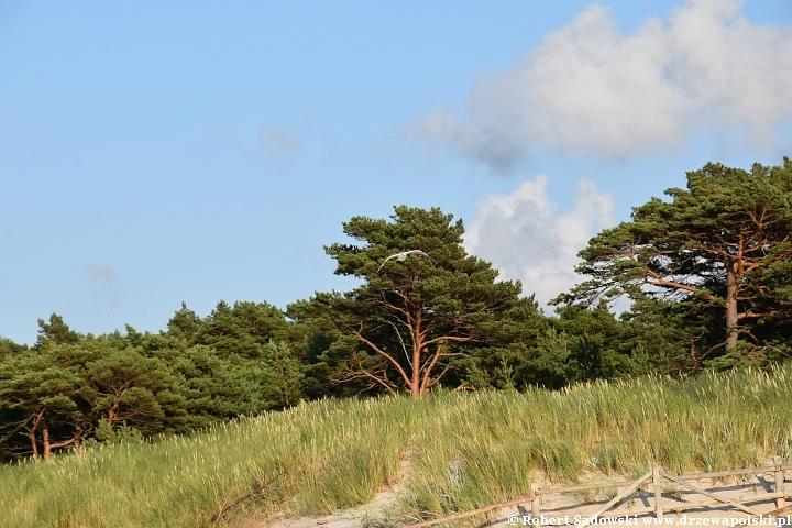 Sosna bałtyckiego wybrzeża