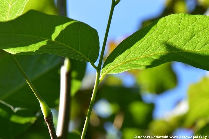 Strączyn żółty - liście