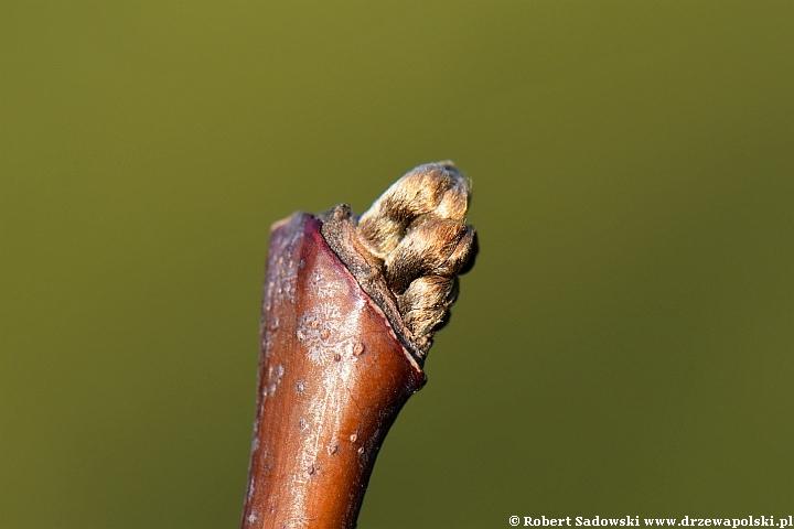 Strączyn żółty - rozwój liścia