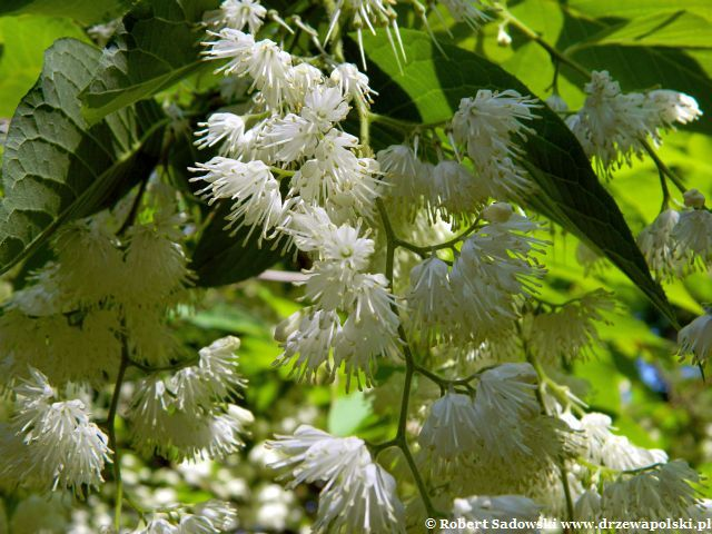 Styrakowiec japoński kwiaty