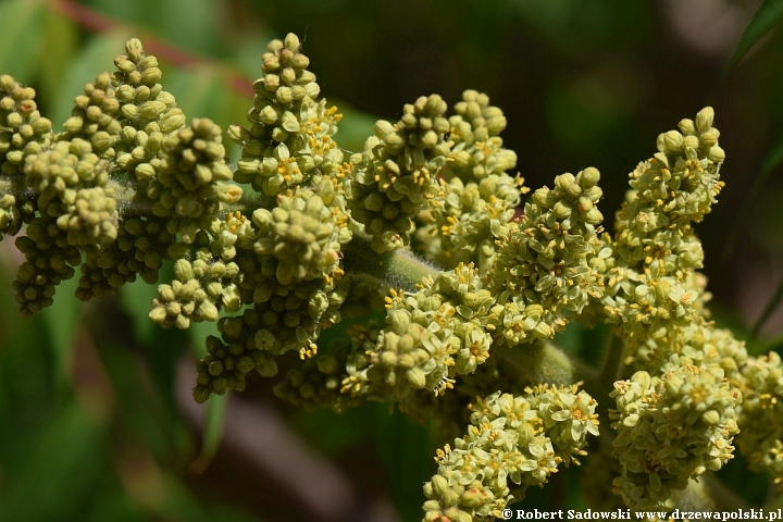 Kwiaty - sumak octowiec